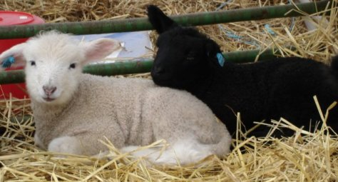 Mae's ewe and ram lamb