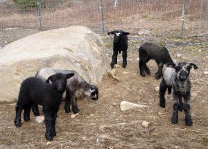 Lambs at play