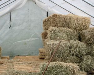 Greenhouse almost empty of hay, with my snake-rake foremost!