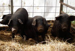 Piglets on board