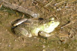 One of our friendly paddock frogs