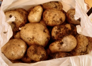 Some of the Kennebec potatoes we harvested