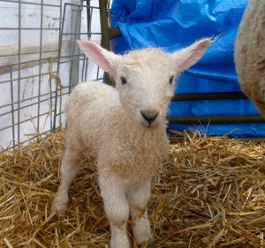 Fuzzy's 14 pound ewe lamb #1