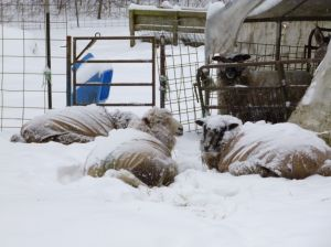 Coated sheep napping in the snow