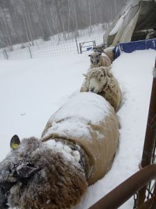 The girls come out to meet me.  A little snow doesn't stop a hungry ewe!