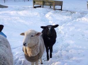 Nutkin the white ewe lamb