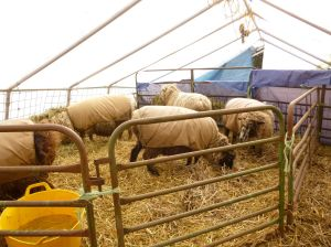 Ewes in the greenhouse staying dry