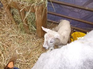 Esther's white ram lamb