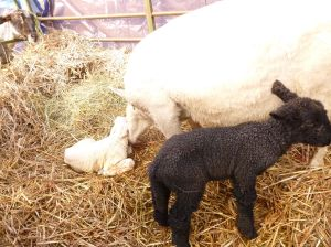 Fern's black ewe and white ram