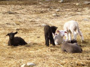 Lambs lounging