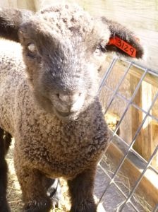 One of Esther's ram lambs