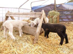 Lambs in the creep