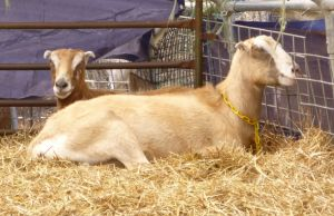 Elf and Zelda the goats hide out in the greenhouse