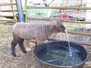 Esther's black ram lamb, drinking from the hose