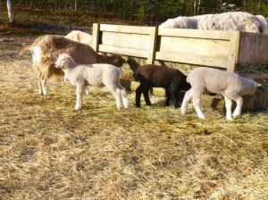 Lambs at the feeder this morning