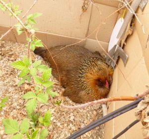 Henny Penny in her broody corner