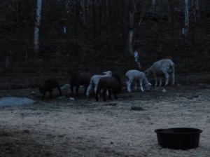 Lambs at dark