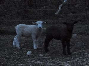 One of the white rams with our ewe lamb