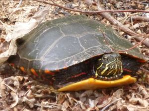 Painted turtle laying her eggs