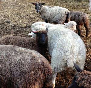 lamb_mob