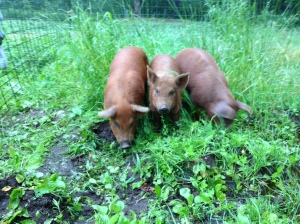 Red Wattle piggies land