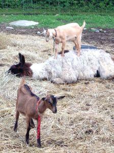 Beastie boy using the llama as his trampoline!