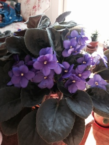 The African violet is again in full bloom!