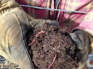 This loam is looking good! As the sun hit the exposed dirt, the worms came to life!