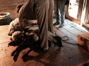 Emily our wonderful shearer at work yesterday