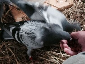 Young homing pigeons eating out of John's hand