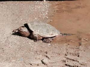 Snapper turtle mama