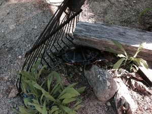 Painted turtle mama