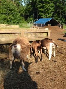 Goat shadows