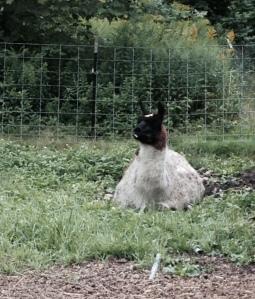 Happy llama Zorro