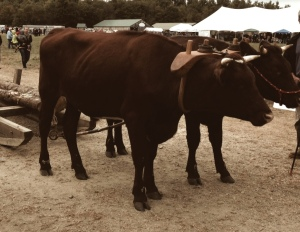 Oxen at Common Ground