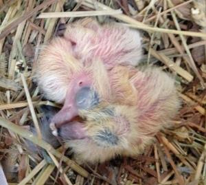 Pigeon chicks