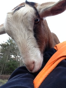 Marigold the Marvelous goat inspecting my vest