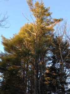 Late afternoon sun on the pines behind the house