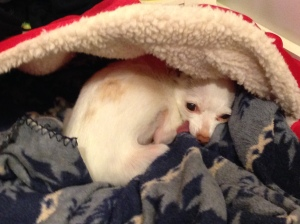 Tesser the Chihuahua moves into the new year with a new little dog cave bed. Good stuff!