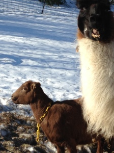 Beezus and Zorro the Llama are enjoying the sun