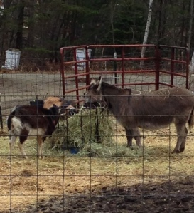 This morning, the boys and Jingle attacking their hay at breakfast.