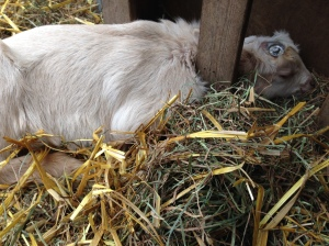 Pickles is so exhausted she took a nap with her head in the hay feeder