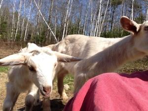 Goat kid selfie