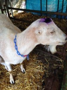 Pippi and her Blu-Koted head bone