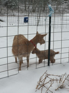 Battie and Betsy frolicking in the snow.