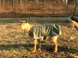Saffron in her new coat.