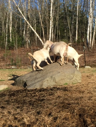 Tussling on the rock