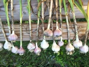 Garlic harvest was a good one!