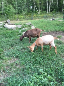 Guernsey girl Betsy and Beezus the Lamancha are happily noshing in the alternate pen