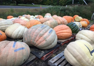 It's definitely autumn when the giant pumpkins arrive